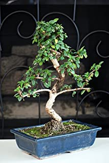 flowering fukien tea bonsai tree care