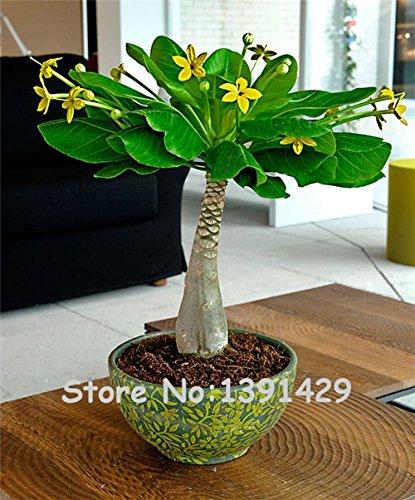 5 Pièces Mini Pachira macrocarpa Graines, Marque hawaïenne Money Tree Plante, Bonsai Pot Fleurs intérieur Graines Plante,