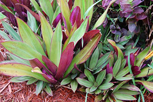 PLAT FIRM KEIM SEEDS: Tradescantia spathacea Rhoeo - Boat Lily - Moses im Korb -Oyster Pflanze EZ Pflege