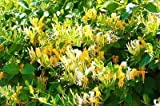 Wild Honeysuckle/Lonicera Periclymenum in 9cm Pot, Stunning Flowers 3fatpigs®