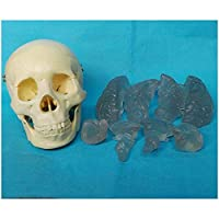 XYXZ 解剖学モデル脳の解剖学的モデルを備えた人間の頭蓋骨-取り外し可能な頭蓋骨キャップを備えた医療解剖学の解剖学的頭蓋骨モデル-Pvc材料-科学教室研究用ディスプレイ教育医学