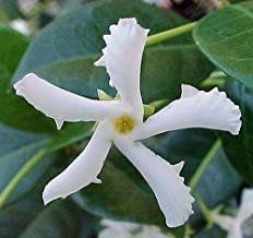 "Confederate Star Jasmine Plant - 6"" Pot - Extremely Fragrant Vine"