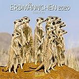 Erdmännchen 2020: Broschürenkalender mit Ferienterminen. Lustige Bilder der witzigen kleinen Tiere. 30 x 30 cm