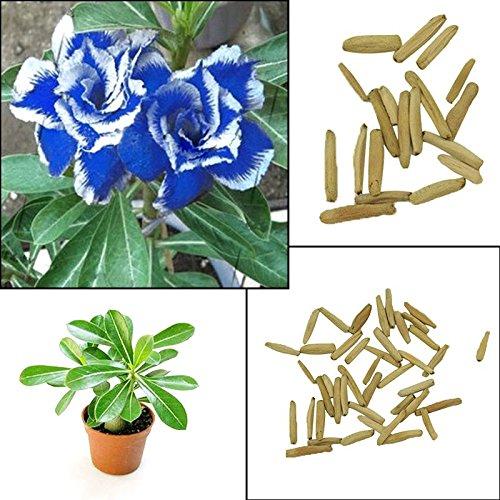Rosepoem 2pcs azul con semillas de la planta Rosa Blanca Desierto late