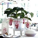 Medinilla myriantha Graines d'orchidée Malaysian 30 Pcs Rose Blooms Bonsai Blooming Garden Arbuste Houseplant Graines Indoor