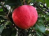 Apfelbaum, Elstar, Malus domestica, Obstbaum winterhart, Tafelapfel rot, im Topf, ca. 175