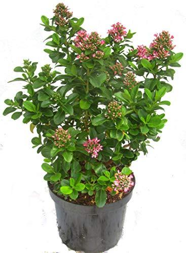 Escallonia \'Pink Elle\' - Escallonie immergrüner blühender Strauch