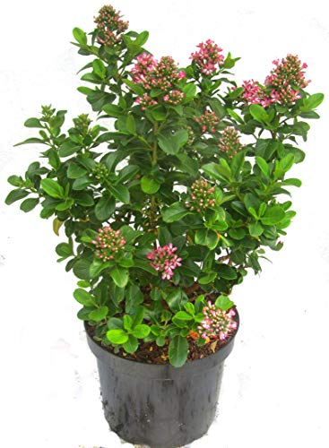 Escallonia \'Pink Elle\' - Escallonie immergrüner blühender Strauch 26 cm Topf Höhe 60 cm