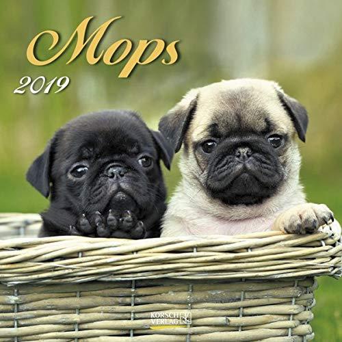 Mops (BK) 227319 2019: Broschürenkalender mit Ferienterminen. Hunde-Kalender. 30 x 30 cm