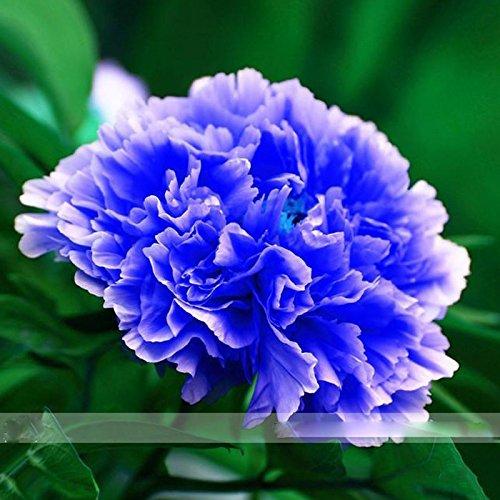 par DUBU 5 graines/Pack, Double Light Blue Arbre pivoine Graines, Arbre Rare Pivoine 'Noble' usine