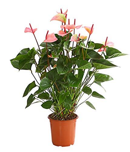 Keland Garten - Rarität Flamingoblume exotisch Blumensamen winterhart mehrjährig als Zimmerpflanze in Büroräumen/Badezimmer