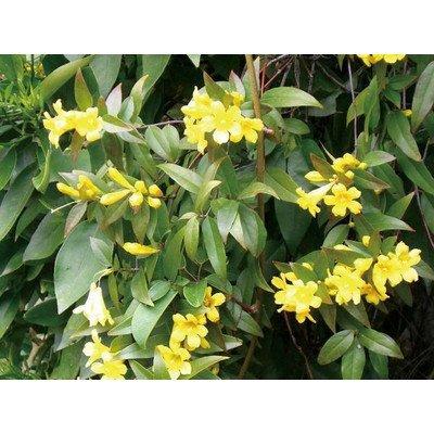 緑のカーテン カロライナジャスミン(大株) 黄色花 香りよし 常緑つる性低木