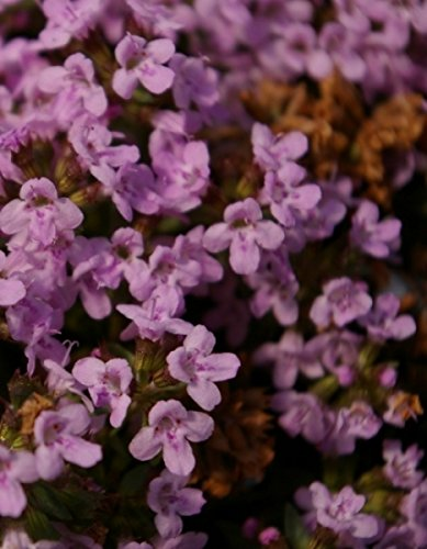 Thymus herba-barona - Kümmelthymian