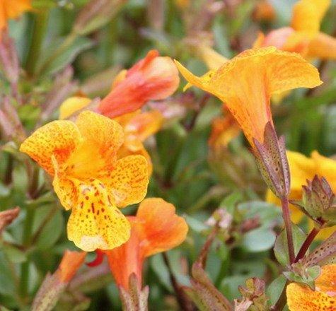 WFW wasserflora Kupfer-Gauklerblume...