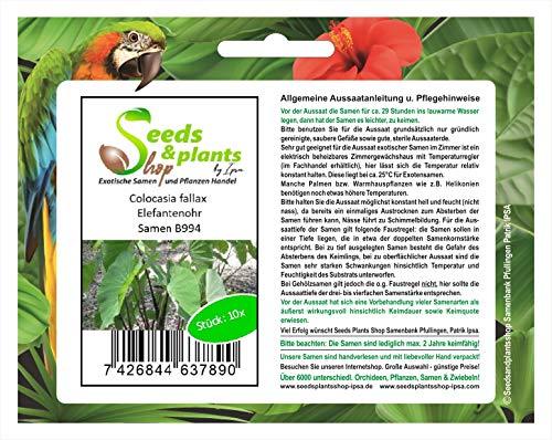 Stk - 10x Colocasia fallax Elefantenohr Garten Samen Blumen Pflanze Neu Frisch B994 - Seeds Plants Shop Samenbank Pfullingen Patrik Ipsa