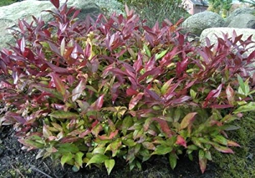 Leucothoe Scarletta / Zeblid - Traubenheide Scarletta / Zeblid - Traubenmyrte - Lorbeerkrüglein - Preis nach Größe 30-40 cm