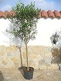 Árbol - Olivo, Olea europaea, aprox. 170 cm, frutos para comer y aceite