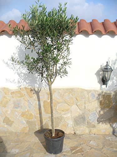 Olea Europaea - Árbol de olivo (170 cm de alto)