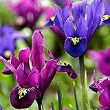 Blumenzwiebeln Zwerg-Iris Mix 'Fraternal Twins' Ø 7