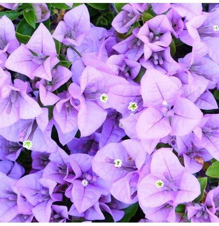 Nouvelle arrivée! A Seeds pack 100 Pcs Seeds Bleu Unique Bougainvillea spectabilis Seeds Perennial Bonsai Fleur Plante, # 3T3BG6