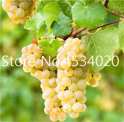 ! Hot Koop 30 stuks druiven planten Rare vinger Biologische Heirloom fruitgewassen, natuurlijke groei druiven boom bonsai voor huis tuin: 1