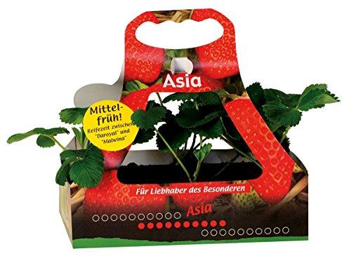 Müllers Grüner Garten Shop Erdbeere Sorte Asia Erdbeerpflanze mit süß-aromatischen Früchten, sehr hohem Ertrag, 6 er Tray