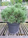 Kugelkiefer Mops - Pinus mugo Mops