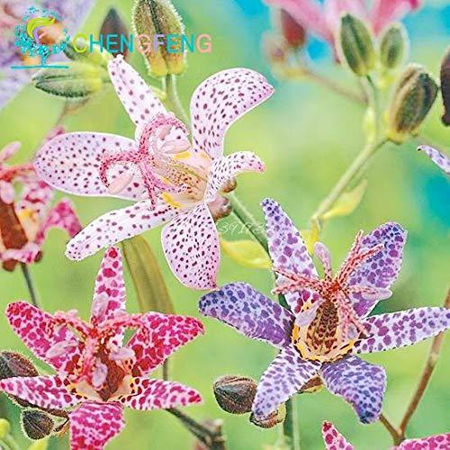 Green Seeds Co. 50 Pcs/Sac Plantes En Pot Lily plantes rares Plantes à Fleurs Bonsaï Intérieur Diy plant Semillas Mixed Colors emballage 2016: Chocolat
