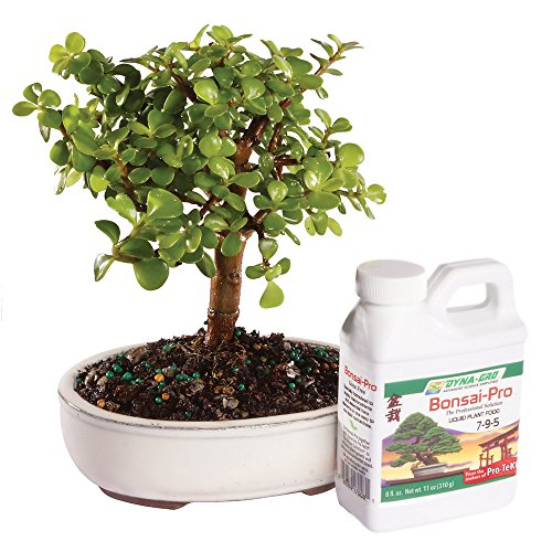Brussel's Live Dwarf Jade Indoor Bonsai Tree - 4 Years Old; 4' to 6' Tall with Decorative Container & Bonsai Pro Fertilizer