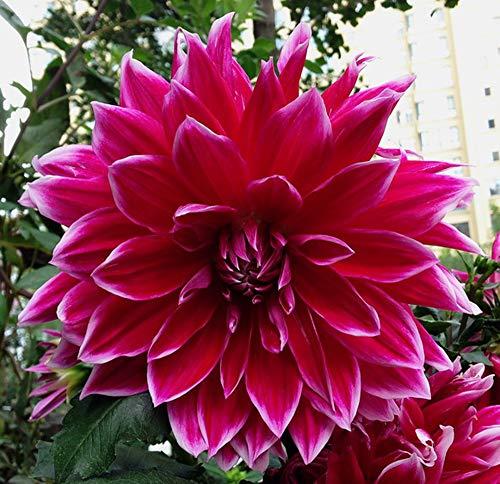 Dahlien-Blumenzwiebeln, atemberaubender Charm-Wurzel, Geschenk, Kormen, blühen Dekoration, Rhizome, 1 Dahlie-Glühbirne
