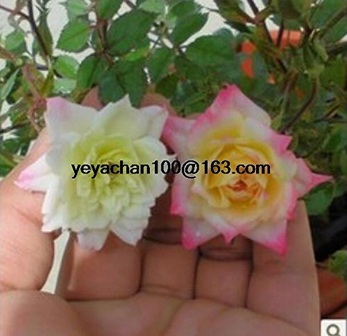 La nouvelle miniature rose plante petits diamants ont augmenté de plus de 100 graines de fleurs fleur