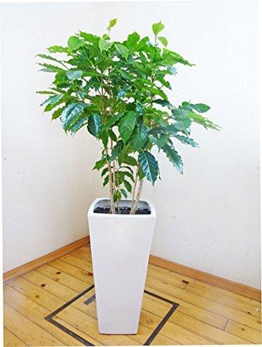 ロングスクエア陶器鉢仕立てのコーヒーの木 /130cm前後(10号)