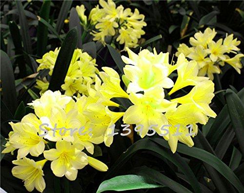 1bag = 100 pcs graines de clivia bon marché, Clivia graines en pot, Bonsai balcon fleur maison & jardin