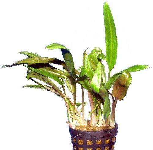 Aquariumpflanzen Cryptocoryne beckettii, Wasserpflanzen