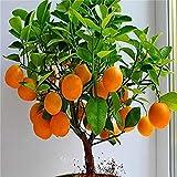 Bonsai Orange Tree Seeds, 20 Seeds ,Grow a Delicious Fruit Bearing Bonsai Tree - Ships from Iowa.