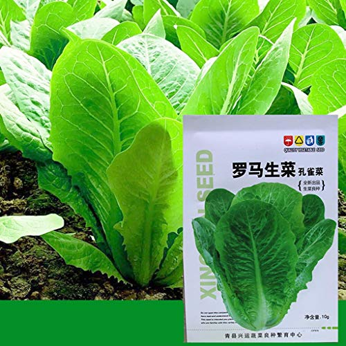 Cuentas de Bolas, QAINGU 10g Raras Semillas de Lechuga Romana Heirloom Vegetales orgánicos Planta Jardín Bonsai