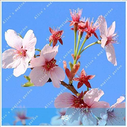 ZLKING 20pcs/pack Arbre Sakura Fleurs japonais Bonsai Graines Cerasus yedoensis fleurs de cerisier facile de cultiver des plantes de fleurs exotiques 5