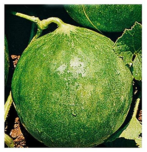 Semillas de cianciuffo carrusel redondo - frutas - cucumis melo var - carruseles redondos - adzhur - las mejores semillas de plantas - flores vegetales - raro - idea de regalo - 90 semillas aprox.