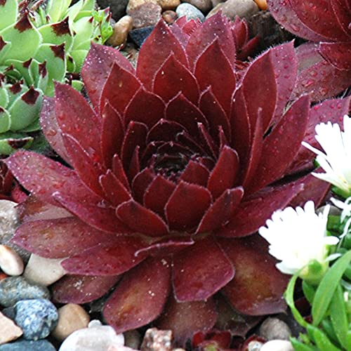 Sempervivum Cherry Berry - Houseleek | Evergreen Potted Succulent Garden Plant for Sale (10-20cm Incl. Pot)
