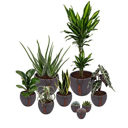 Set van 9 planten met bijpassende grijze plantenpotten - kamerplanten voor binnen met verschillende groottes - Mapot