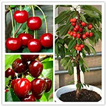 Gardening Seeds - 20 Pcs/Bag Cherry Seeds Home Indoor Fruit Bonsai Dwarf Cherry Tree Seed Planting