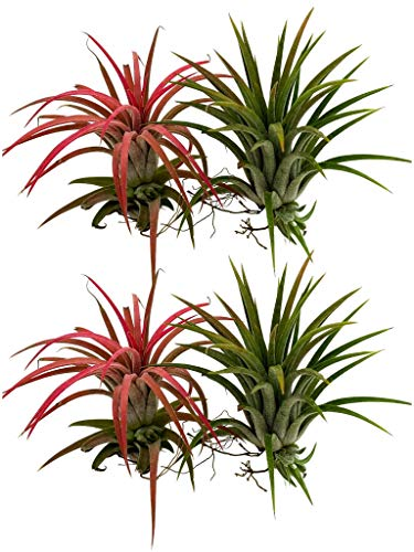 Tillandsia ionantha | Mix
