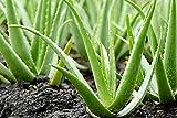 Alick 10 Aloe Vera Pflanzensamen