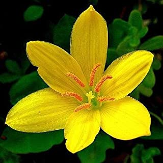 Zephyranthes Lily/Rain Lily Yellow Colour Flower Sow and Grow Fresh Healthy Bulbs for Your Garden by Kraft Seeds (Set of 5) Yellow (Pack of 1)