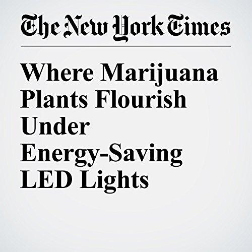 Where Marijuana Plants Flourish Under Energy-Saving LED Lights audiobook cover art