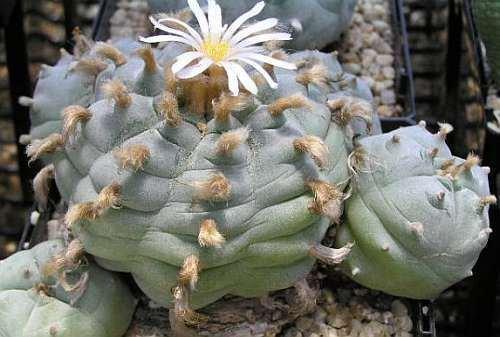 Lophophora williamsii v Cardona - Peyote - 10 Samen