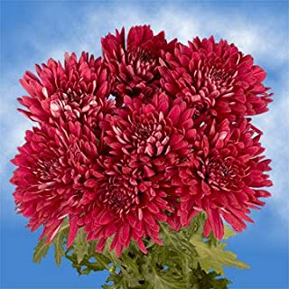 GlobalRose 50 Fresh Cut Burgundy Chrysanthemum Disbud Flowers - Fresh Flowers For Birthdays, Weddings or Anniversary.