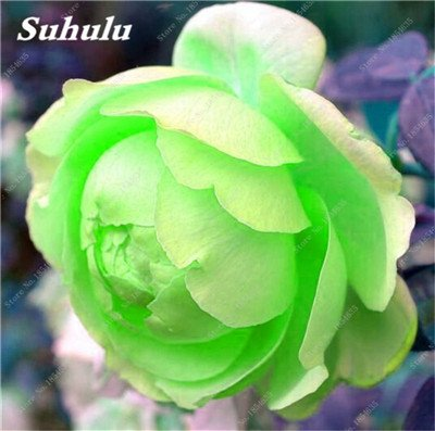 Nouveau! 10 Pcs Pivoine Graines Paeonia suffruticosa Andrews Mix Couleurs Indoor Bonsai fleur pour jardin des plantes Pivoine Graines de fleurs 11