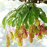 quanjucheer 200 Stück Nepenthes Seeds Balkon Terrasse Garten Topf Bonsai Pflanzensamen Fleischfressende Pflanzensamen Nepenthes Samen