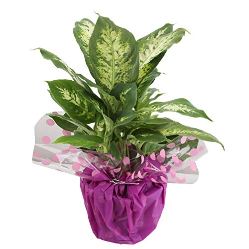 Costa Farms Dumb Cane Dieffenbachia, Live Indoor Plant Decorated Wrap, Gift, 16 to 20-Inches Tall